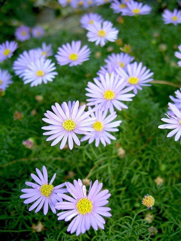 Image de fleur marguerite - Image fleur marguerite ...